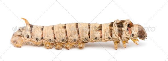 Silkworm larvae, Bombyx mori, against white background - Stock Photo - Images