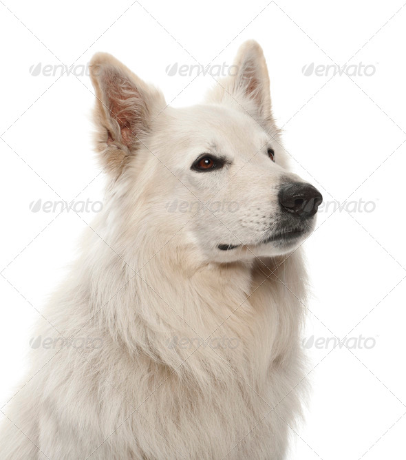 Berger Blanc Suisse, 5 years old, against white background - Stock Photo - Images