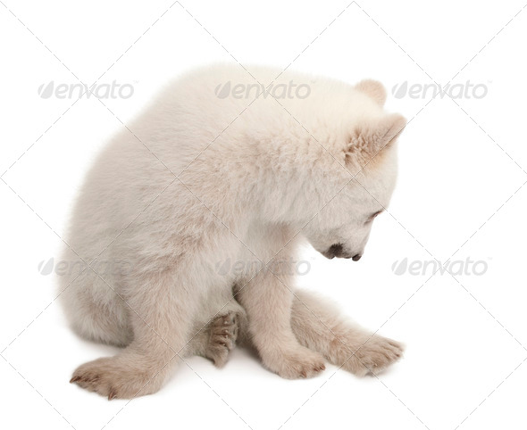 Polar bear cub, Ursus maritimus, 6 months old, sitting against white background - Stock Photo - Images