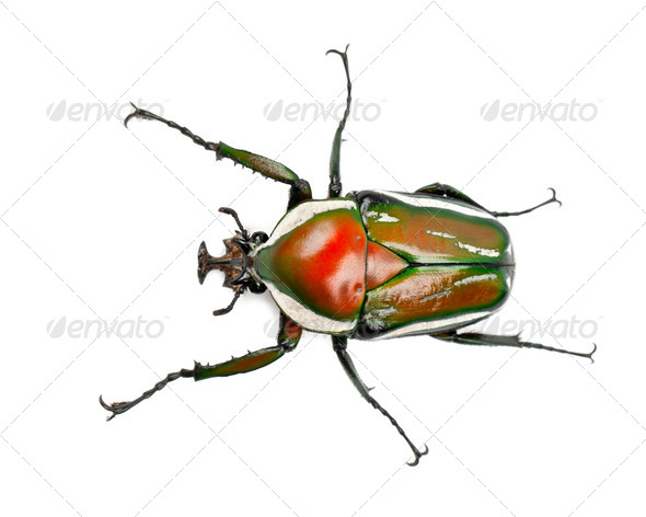 Male Derby's Flower Beetle, Dicronorrhina derbyana layardi, a species of beetles - Stock Photo - Images