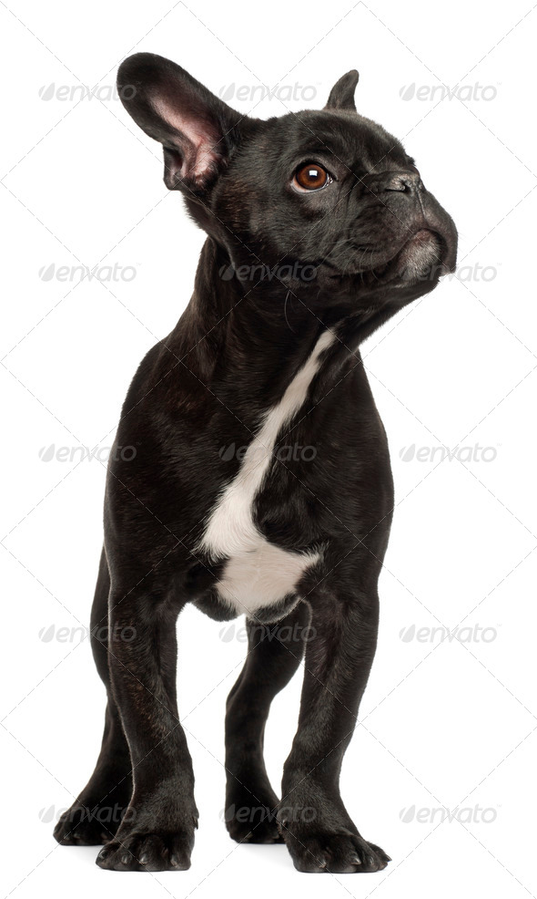French bulldog puppy, 5 months old, standing against white background - Stock Photo - Images