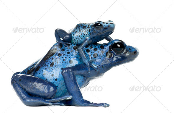Female Blue and Black Poison Dart Frog with young, Dendrobates azureus, against white background - Stock Photo - Images
