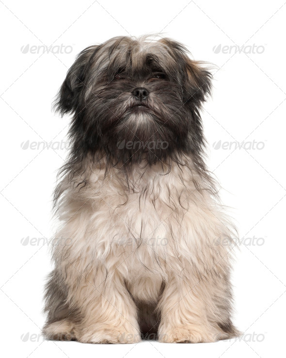 Lhasa apso sitting against white background - Stock Photo - Images