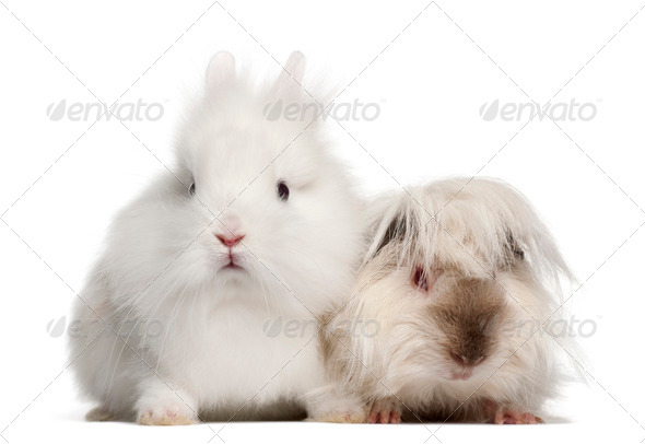 Rabbit and guinea pig portrait against white background - Stock Photo - Images