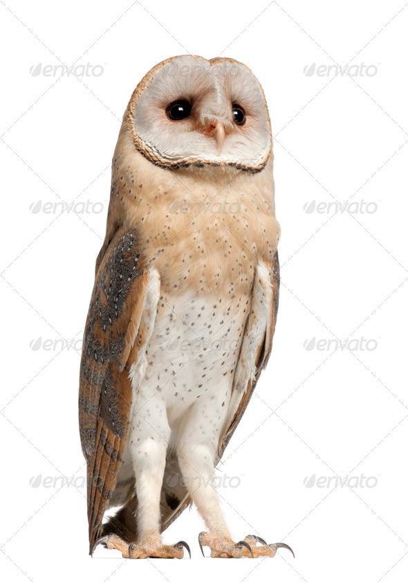 Barn Owl, Tyto alba, 4 months old, standing against white background - Stock Photo - Images