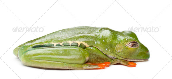 Red-eyed Treefrog, Agalychnis callidryas, against white background - Stock Photo - Images