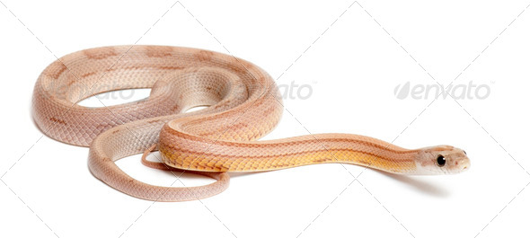 Corn Snake, Pantherophis guttatus guttatus, ghost mothley or striped, against white background - Stock Photo - Images