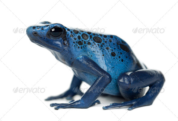 Blue and Black Poison Dart Frog, Dendrobates azureus, against white background - Stock Photo - Images