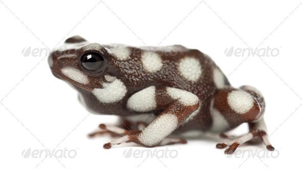 Maranon Poison Frog or Rana Venenosa, Ranitomeya mysteriosus, against white background - Stock Photo - Images