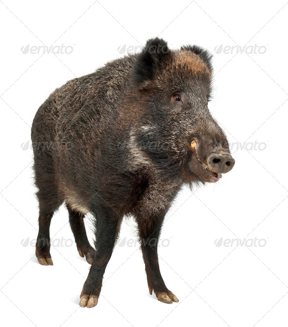 Wild boar, also wild pig, Sus scrofa, 15 years old, standing against white background - Stock Photo - Images