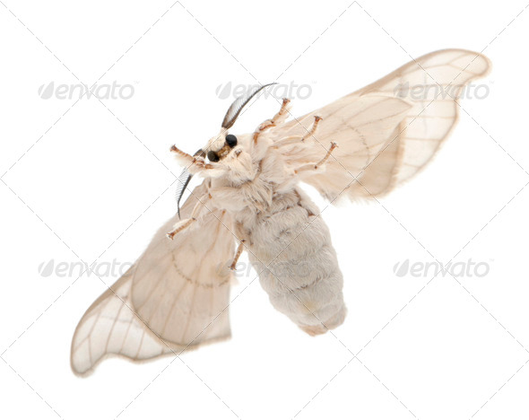 Domesticated Silkmoth, Bombyx mori, underside view against white background - Stock Photo - Images