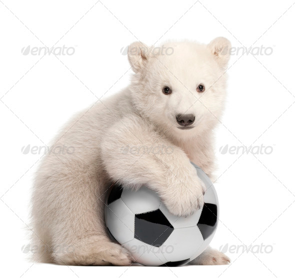 Polar bear cub, Ursus maritimus, 3 months old, with football sitting against white background - Stock Photo - Images