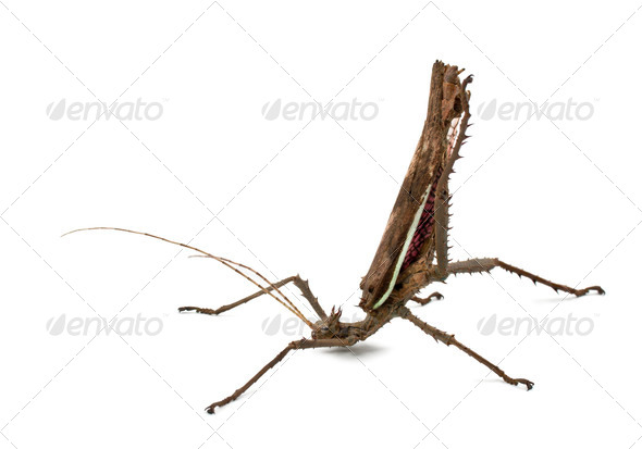 Adult male Malayan Jungle Nymph, Heteropteryx dilatata, against white background - Stock Photo - Images