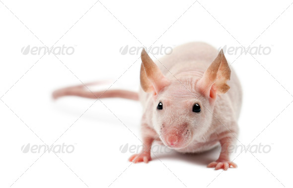 Hairless mouse, Mus musculus, portrait against white background - Stock Photo - Images