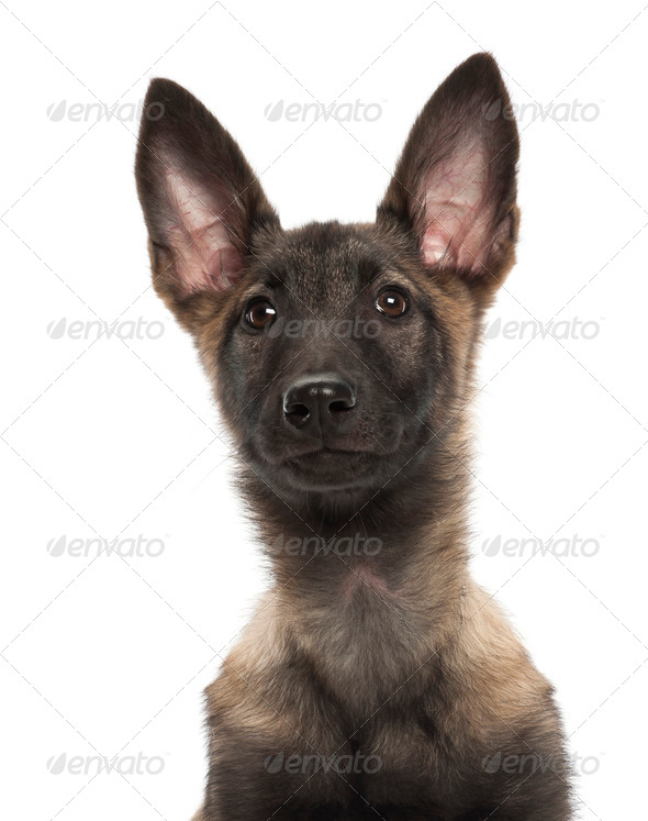 Belgian Shepherd Dog puppy, 3 months old, portrait against white background - Stock Photo - Images