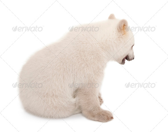 Polar bear cub, Ursus maritimus, 6 months old, sitting against white background - Stock Photo - Images