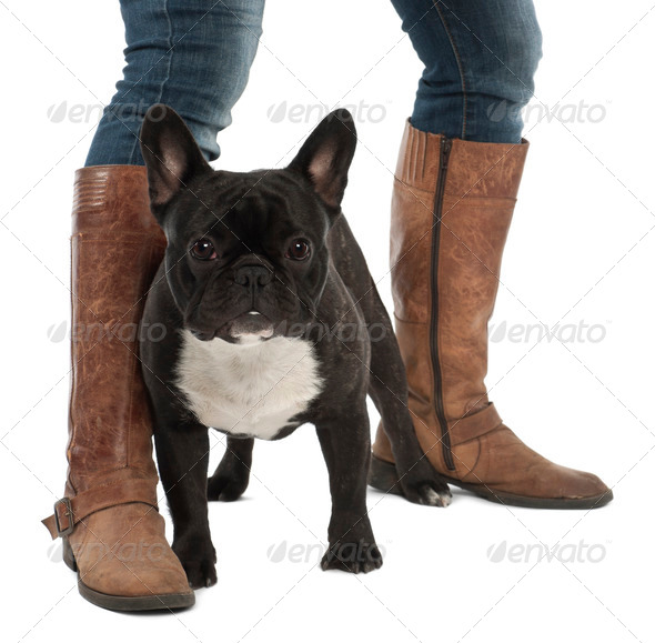 French Bulldog, 1 year old, portrait against white background - Stock Photo - Images