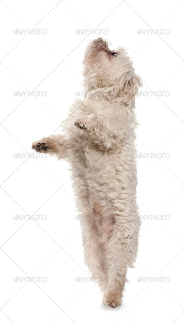 Maltese, 6 years old, standing on hind legs against white background - Stock Photo - Images
