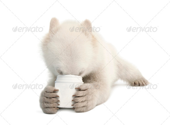 Polar bear cub, Ursus maritimus, 6 months old, feeding from cup against white background - Stock Photo - Images