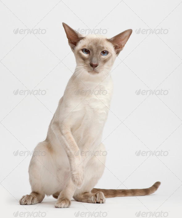 Siamese cat, portrait against white background - Stock Photo - Images
