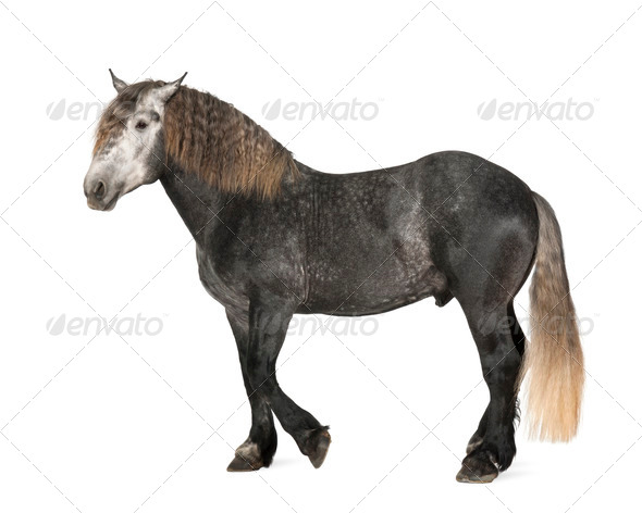 Percheron, 5 years old, a breed of draft horse, standing against white background - Stock Photo - Images