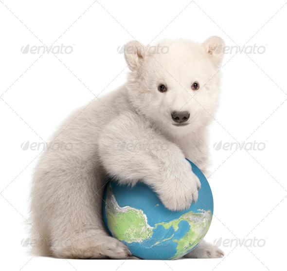 Polar bear cub, Ursus maritimus, 3 months old, with globe sitting against white background - Stock Photo - Images