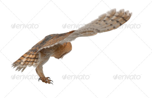 Barn Owl, Tyto alba, 4 months old, flying against white background - Stock Photo - Images