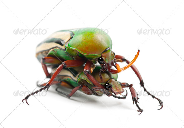 Mating Flamboyant Flower Beetles or Striped Love Beetle, Eudicella gralli hubini - Stock Photo - Images
