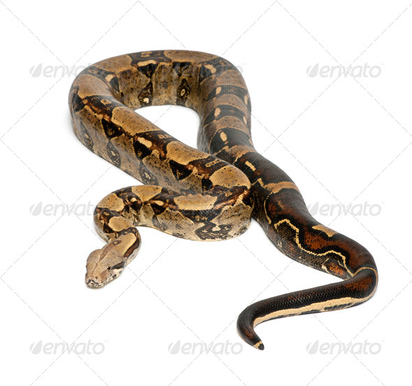Common Northern Boa, Boa constrictor imperator, imperator is the color, against white background - Stock Photo - Images