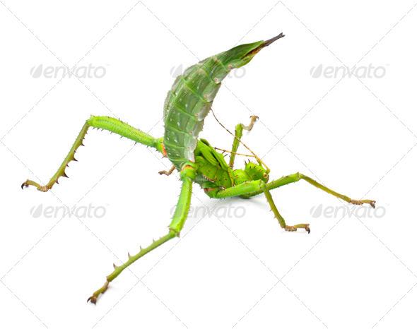 Adult Female Malayan Jungle Nymph, Heteropteryx dilatata, against white background - Stock Photo - Images