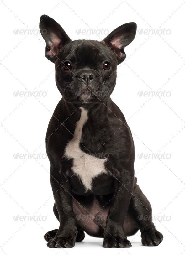French bulldog puppy, 5 months old, portrait against white background - Stock Photo - Images