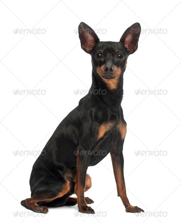Miniature Pinscher, 10 months old, sitting against white background - Stock Photo - Images