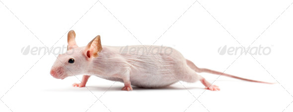 Hairless mouse, Mus musculus, against white background - Stock Photo - Images