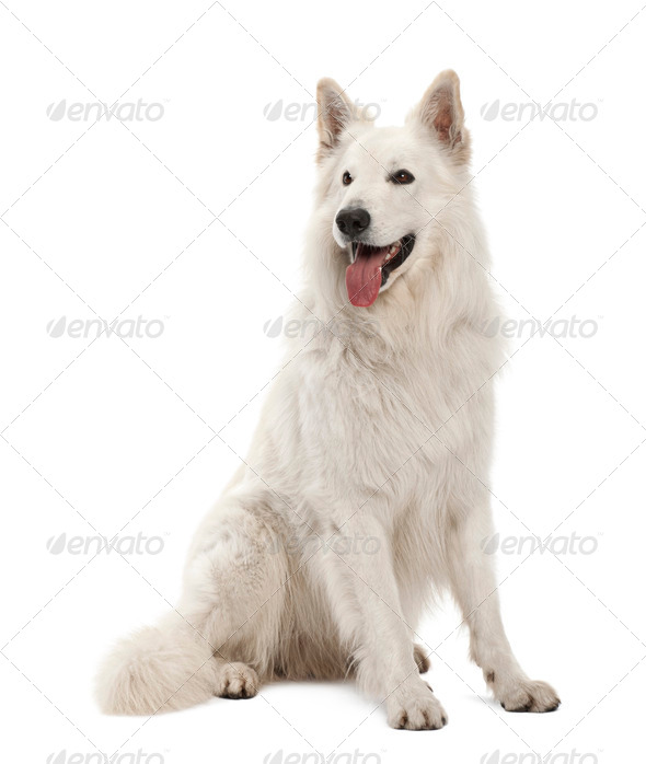 Berger Blanc Suisse, 5 years old, sitting against white background - Stock Photo - Images