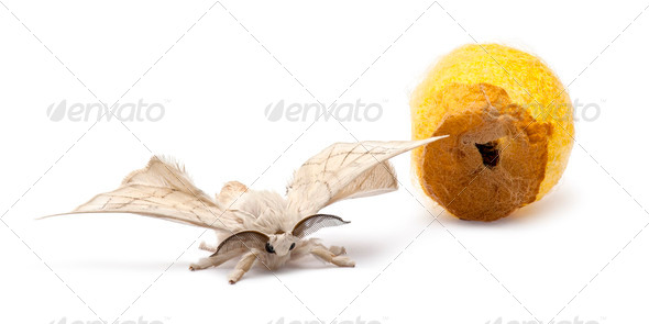Domesticated Silkmoth next to own cocoon, Bombyx mori, against white background - Stock Photo - Images