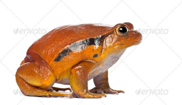 False Tomato Frog, Dyscophus guineti, against white background - Stock Photo - Images