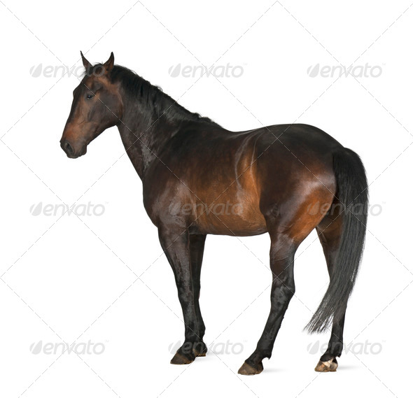Luxemburger Warmblood, 5 years old, horse, standing against white background - Stock Photo - Images