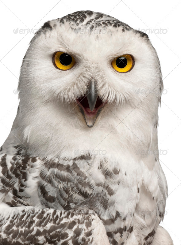 Female Snowy Owl, Bubo scandiacus, 1 year old, portrait and close up against white background - Stock Photo - Images