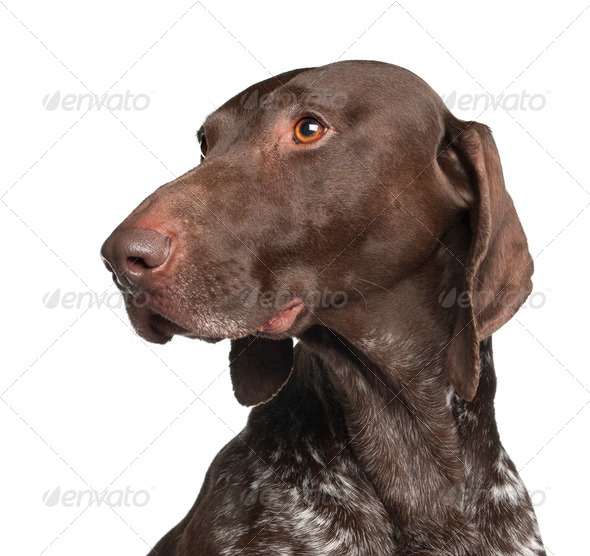 German Shorthaired Pointer, 4 years old, against white background - Stock Photo - Images