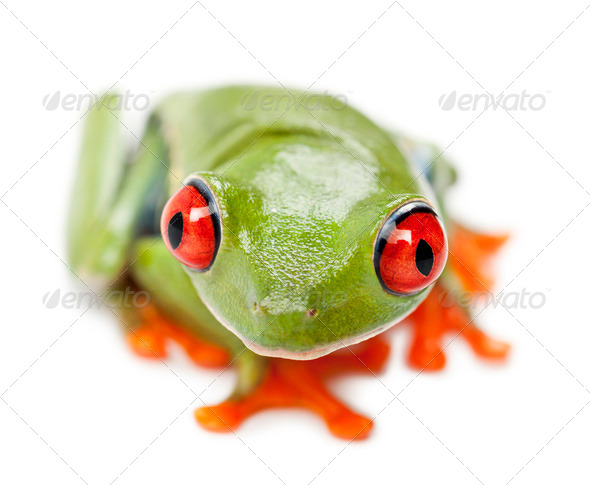 Red-eyed Treefrog, Agalychnis callidryas, portrait and close up against white background - Stock Photo - Images