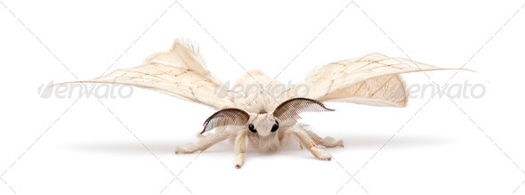 Domesticated Silkmoth, Bombyx mori, against white background - Stock Photo - Images