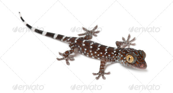 Tokay Gecko, Gekko gecko, portrait against white background - Stock Photo - Images