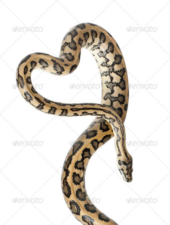 Python, Morelia spilota variegata,close up against white background - Stock Photo - Images