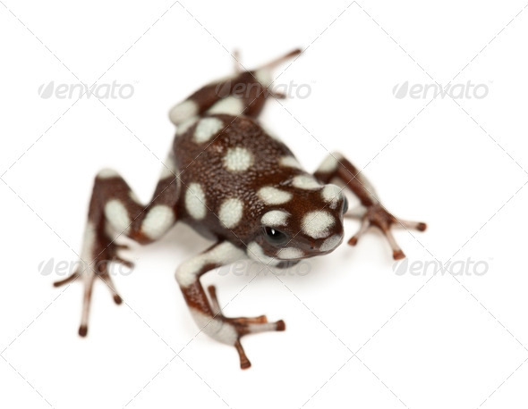 Maranon Poison Frog or Rana Venenosa, Ranitomeya mysteriosus, against white background - Stock Photo - Images
