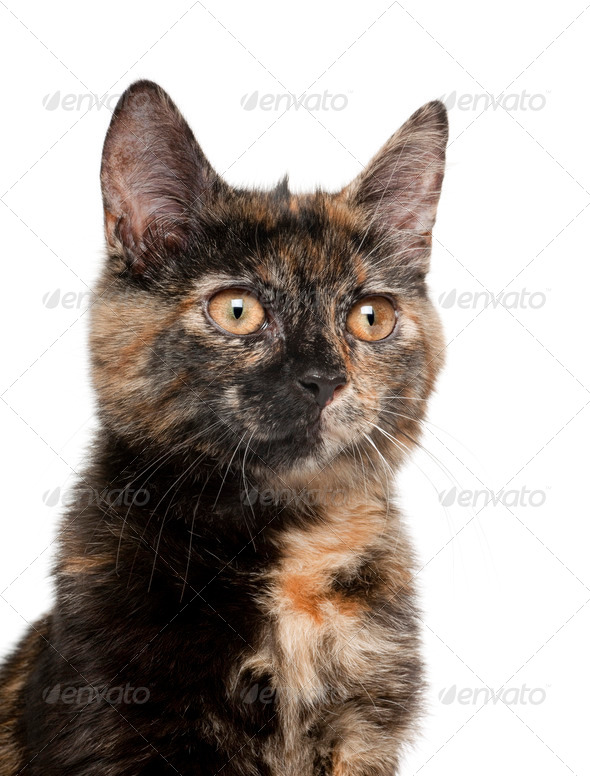 Tortoiseshell kitten against white background - Stock Photo - Images