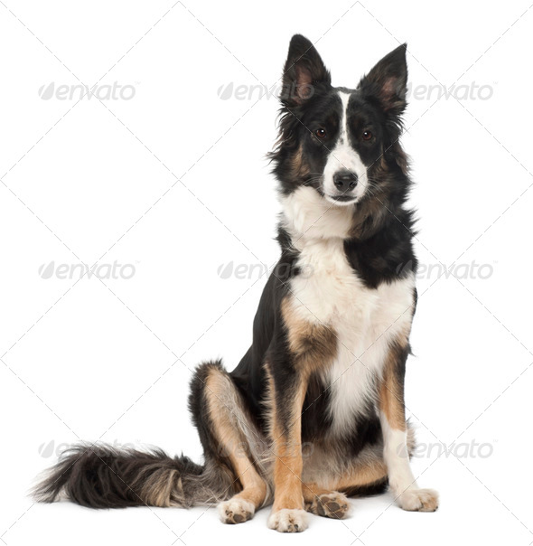 Border Collie, 1 year old, sitting against white background - Stock Photo - Images