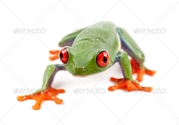 Red-eyed Treefrog, Agalychnis callidryas, portrait against white background - Stock Photo - Images