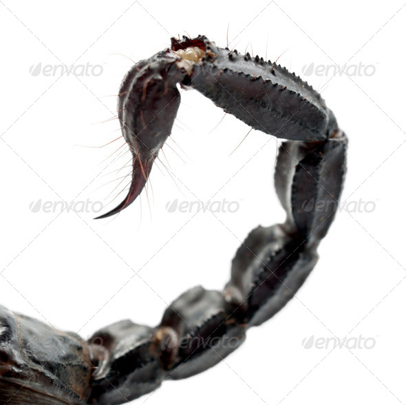 Emperor Scorpion, Pandinus imperator, close up of tail against white background - Stock Photo - Images