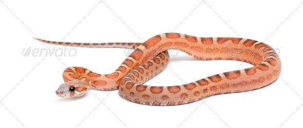 Scaleless Corn Snake, Pantherophis guttatus guttatus, against white background - Stock Photo - Images