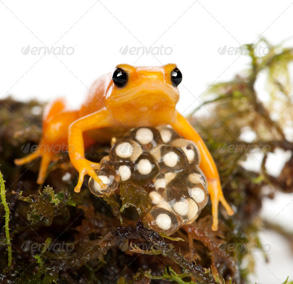Golden Mantella protecting her eggs, Mantella aurantiaca, portrait against white background - Stock Photo - Images